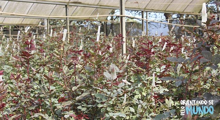 campo rosas