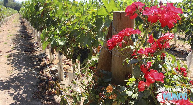 vinicola-undurraga-roseiras